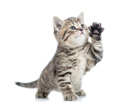 Resultado de imagem para gatos levantar pata
